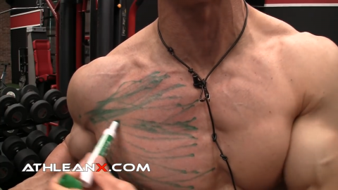 middle chest muscle fibers